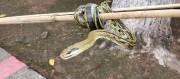 抓到一条野生菜花蛇