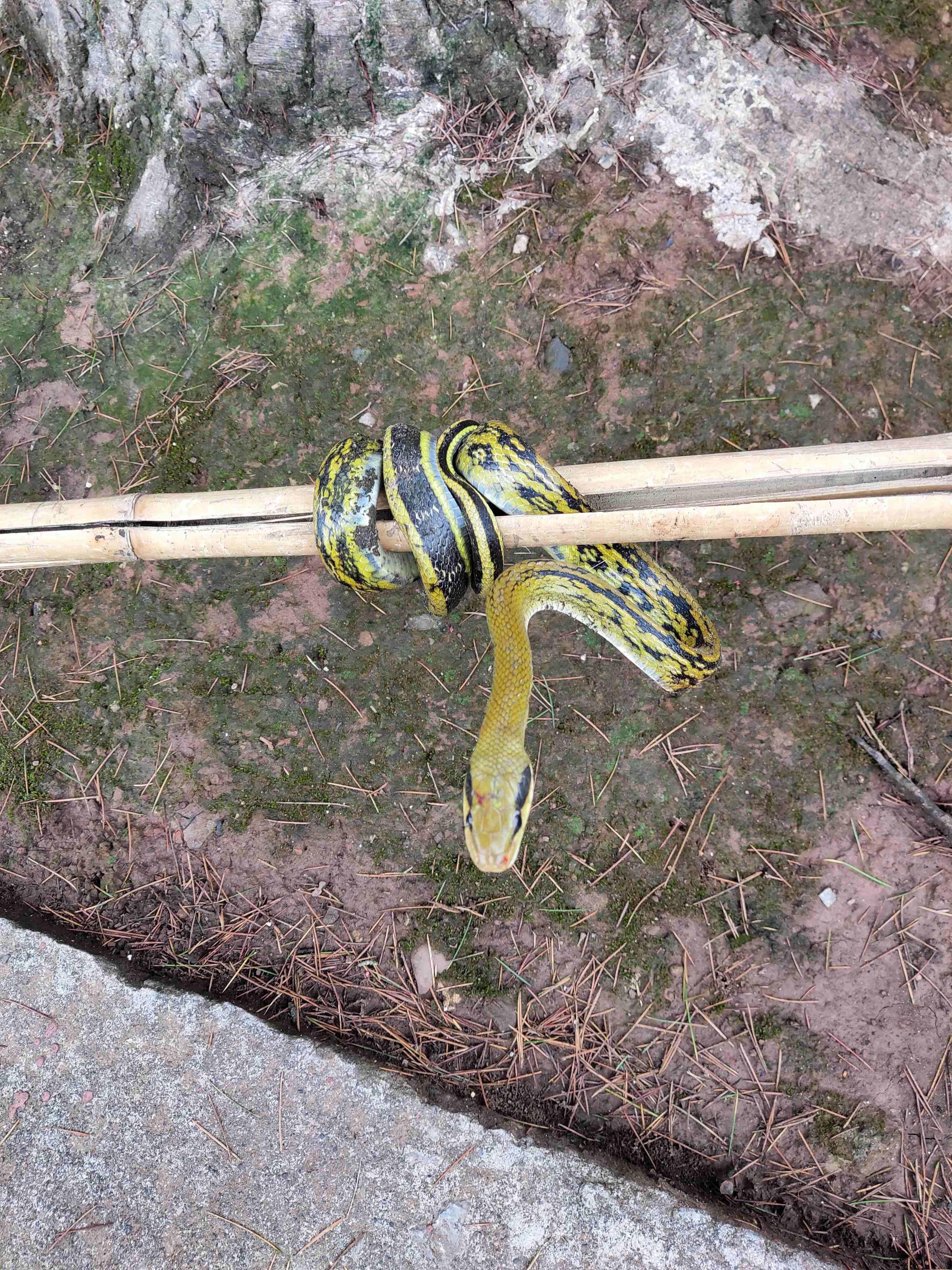 抓到一条野生菜花蛇,第2张